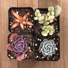 Rainbow Succulent Collection | Paquete | Harddy
