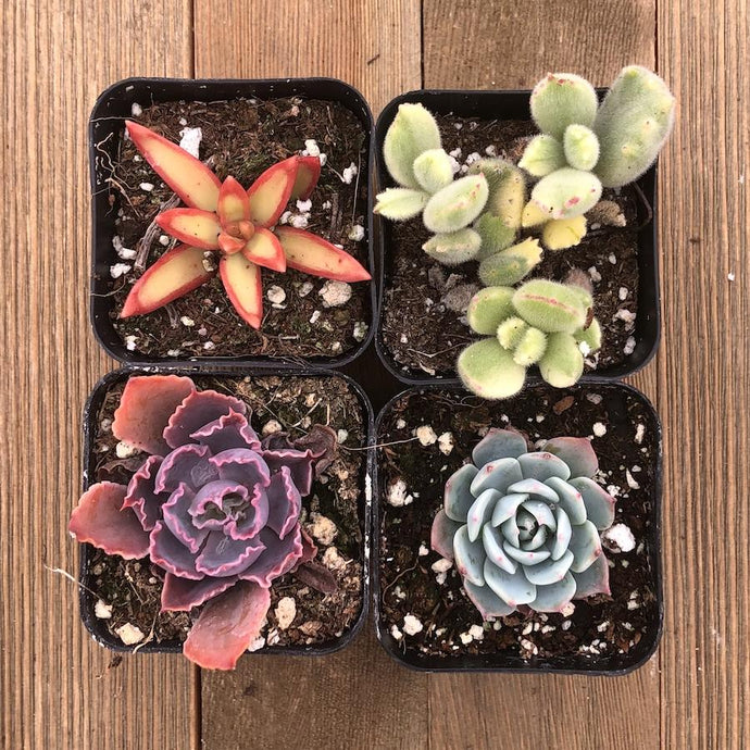 Rainbow Succulent Collection | Large Pack | Harddy