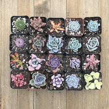 Rainbow Succulent Collection | Pack | Harddy