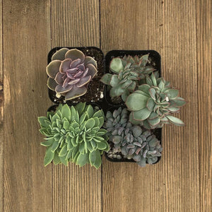 Rare Crested Succulents | Pack | Harddy