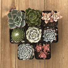 Succulent Starter Packs - Rosette Succulents | Small Pack | Harddy