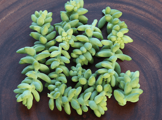 Sedum Burrito - Burro's Tail, Donkey Tail Cuttings | Small Pack - Harddy.com