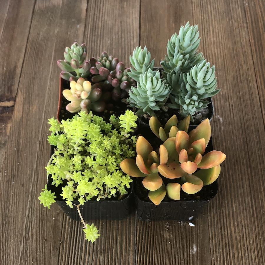 Sedum Assorted Succulents - Stonecrop Collection | Pack | Harddy