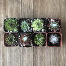 Frost Hardy Sempervivums - Assorted Collection | Pack | Harddy