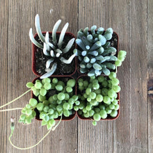 Stunning Senecio Succulent Collection | Pack | Harddy