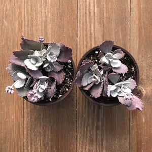 Silver Gray Kalanchoe pumila | Plant | Harddy