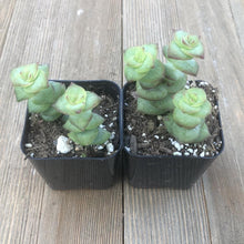 String of Buttons - Crassula Perforata - 2 inch | Plant | Harddy