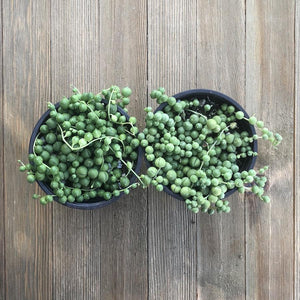 Senecio rowleyanus - String of Pearls - 4 Inch | Small Pack - Harddy.com