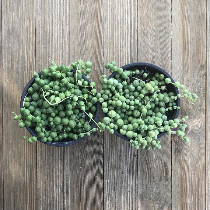 String of Pearls - Senecio rowleyanus - 4 Inch | Small Pack | Harddy