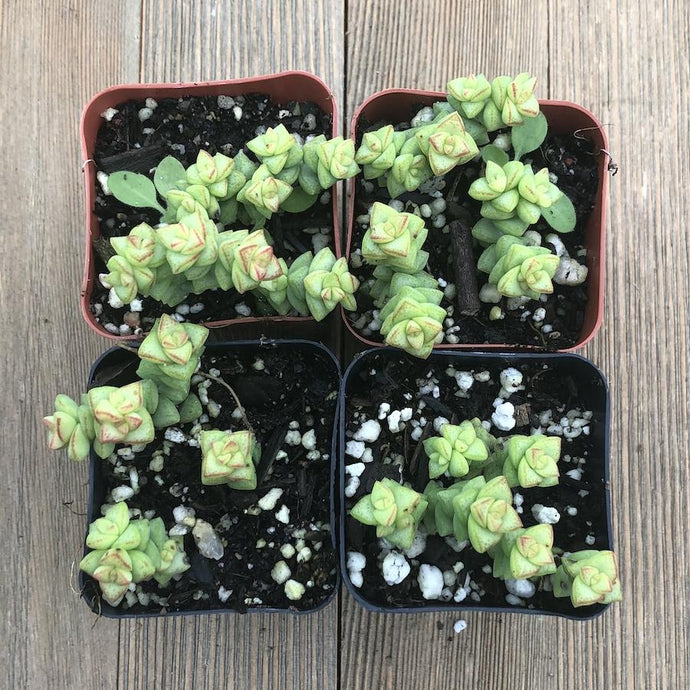 Tom Thumb Crassula - 4 Plants | Small Pack - Harddy.com