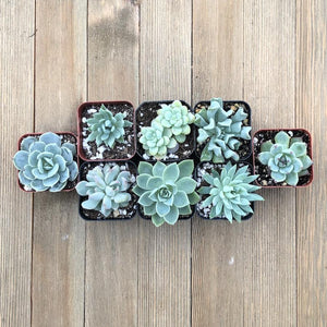 Trendy Mint Succulents - 8 Plants | Small Pack - Harddy.com