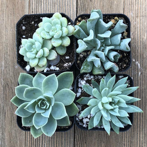Trendy Mint Succulents | Pack | Harddy