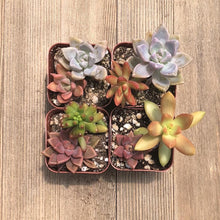 Colorful Mini Succulent Arrangement - Two in Two | Small Pack - Harddy.com