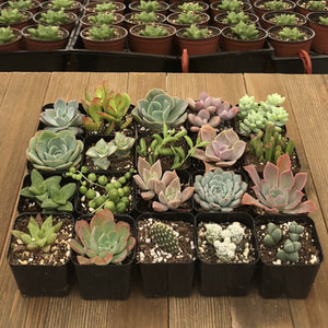Unique Succulent Collection | Large Pack | Harddy