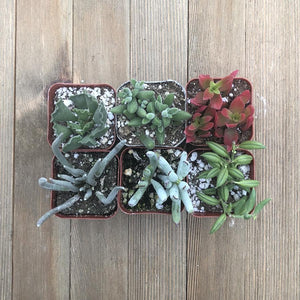Unusual Succulent Plant Collection | Pack | Harddy
