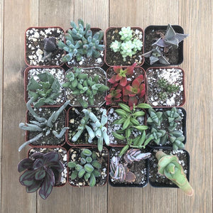 Unusual Succulent Plant Collection