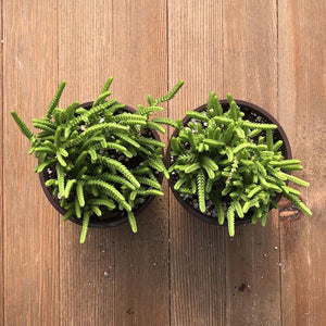 Watch Chain - Crassula muscosa - 4 Inch - 2 Plants | Small Pack - Harddy.com