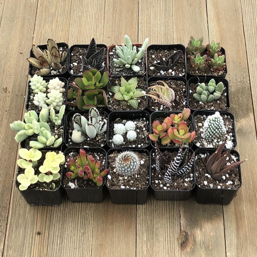 Windowsill Succulent Collection - 20 Plants | Small Pack - Harddy.com