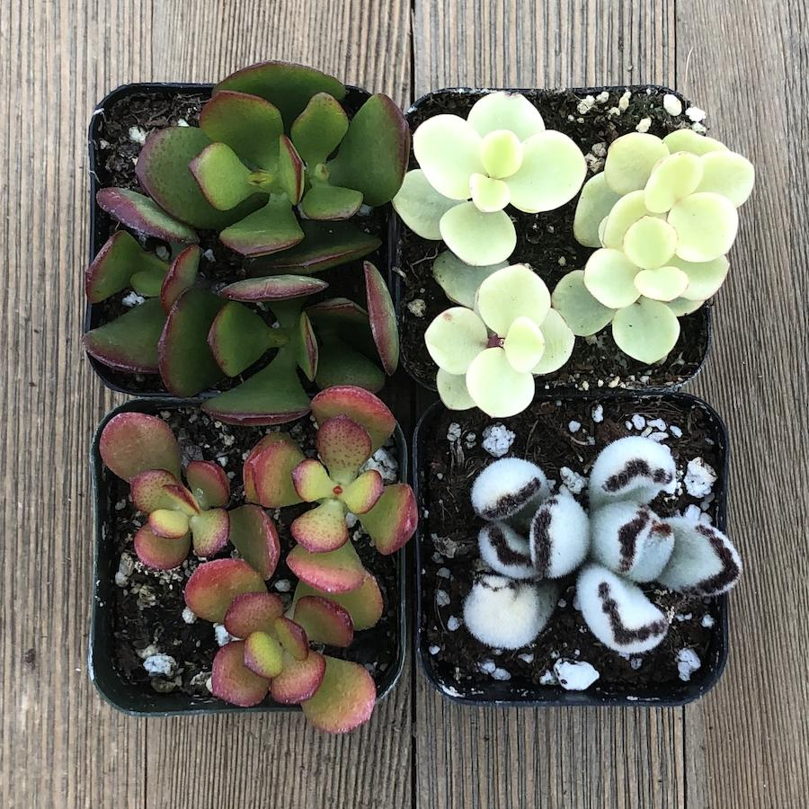 Windowsill Succulent Collection | Pack | Harddy