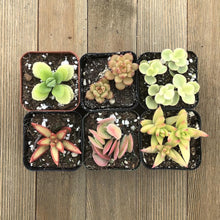 Yellow Cream Succulent Collection | Small Pack | Harddy