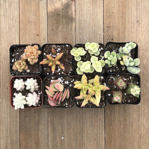 Yellow Cream Succulent Collection | Pack | Harddy