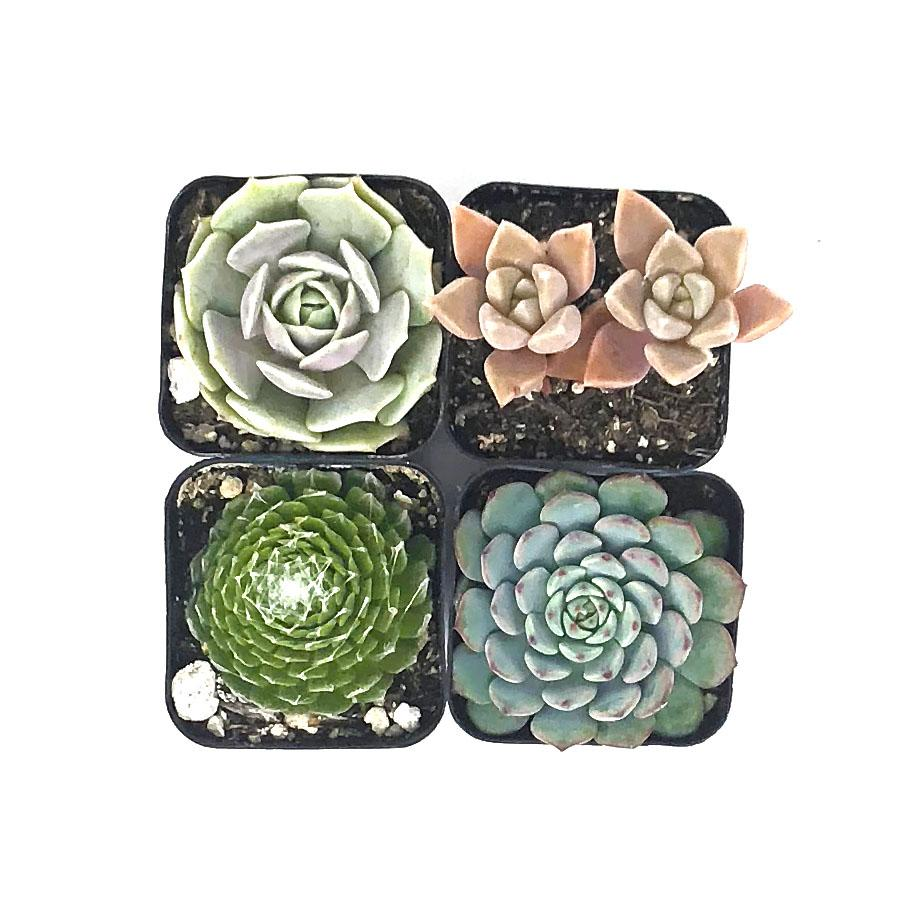 ADD 4 More Succulents