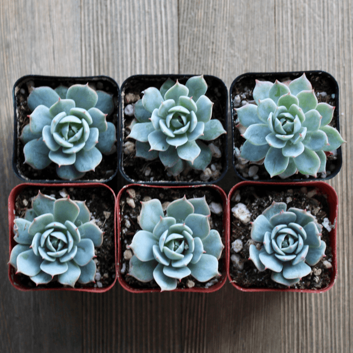 Echeveria Domingo - Domingo Hen and Chicks | Small Pack - Harddy.com