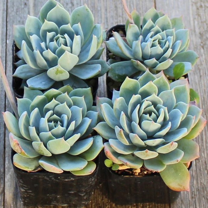 Echeveria Blue Fairy - 2 Inch | Small Pack | Harddy