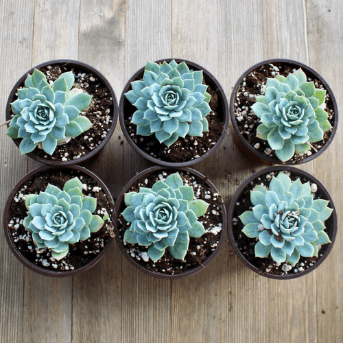 2/4 Pack - Echeveria Blue Mist - 4 inch