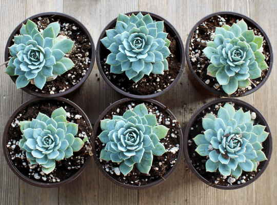 Echeveria Blue Mist - 4 inch | Small Pack - Harddy.com
