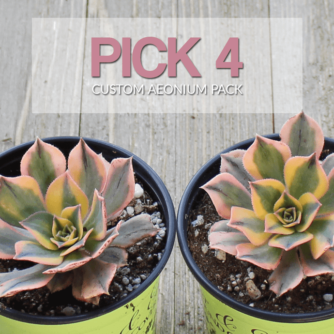 Build Your Own Aeonium Pack | You Pick - Harddy.com