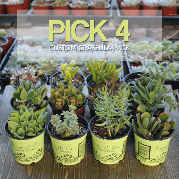 Build Your Own Crassula Pack | You Pick - Harddy.com