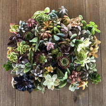 Assorted Rosette Succulent Cuttings | Pack | Harddy