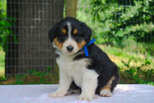 Deposit for Male Tri-Color (Honey and Rolly) Puppy (Blue Collar)