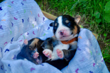 Deposit for Male Tri-Color (Coco and Rolly) Puppy (Brown Collar)