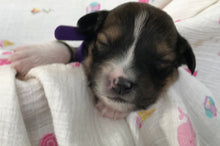 Female Sable (Coco and Rolly) Puppy (Dark Purple Collar)
