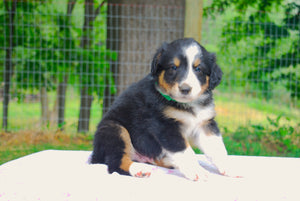 Deposit for Male Tri-Color (Honey and Rolly) Puppy (Green Collar)
