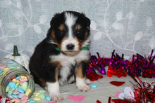 Male Tri-Color (Coco and Rolly) Puppy (Green Collar)