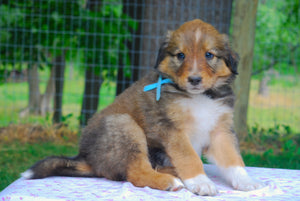 Deposit for Male Sable (Coco and Rolly) Puppy (Light Blue Collar)