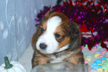 Male Sable (Honey and Rolly) Puppy (Light Green Collar)