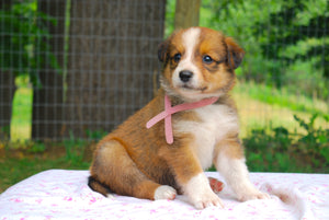 Deposit for Female Sable (Honey and Rolly) Puppy (Light Pink Collar)