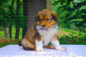 Deposit for Female Sable (Coco and Rolly) Puppy (Lilac Collar)