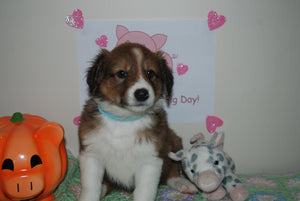 Female Sable (Honey and Rolly) Puppy (Light Blue Collar)