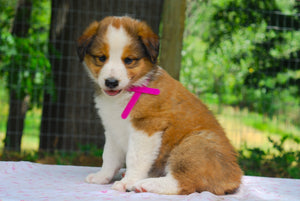 Deposit for Female Sable (Honey and Rolly) Puppy (Magenta Collar)