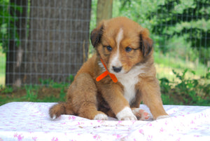 Deposit for Male Sable (Honey and Rolly) Puppy (Orange Collar)