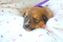 Deposit for Female Sable (Honey and Rolly) Puppy (Purple Collar)