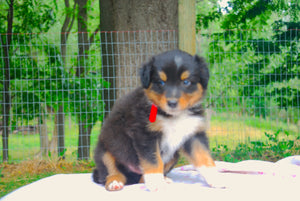 Deposit for Male Tri-Color (Coco and Rolly) Puppy (Red Collar)