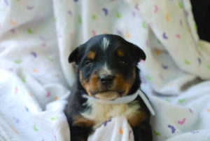 Deposit for Male Tri-Color (Coco and Rolly) Puppy (White Collar)