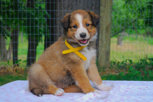 Deposit for Female Sable (Honey and Rolly) Puppy (Yellow Collar)