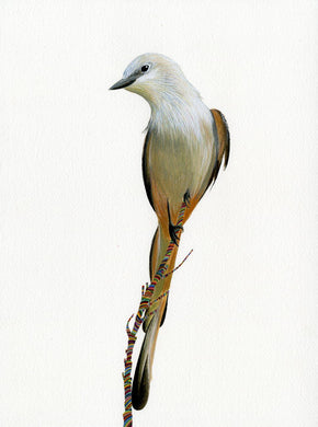 Scissor Tailed Fly Catcher Prints by Carrie Marill